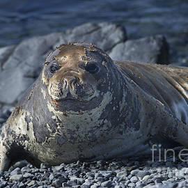 Nina Stavlund - Elephant Seal Pup...