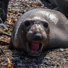 Elephant Seal by Terry Cotton
