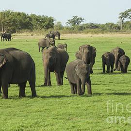 Elephants in Minneriya NP by Patricia Hofmeester