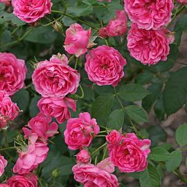 Allen Beatty - Elmshorn Rose Shrub