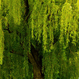 Carol F Austin - Enchanting Weeping Willow Tree