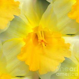 Endless Yellow Daffodil by Judy Palkimas