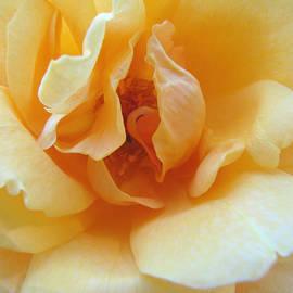 Brooks Garten Hauschild - Lightness of Being - Yellow Rose Macro -Floral Art from the Garden