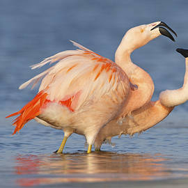 European Flamingo Pair Courting by Ronald Kamphius