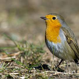 Torbjorn Swenelius - European Robin