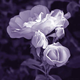Evening Light Lavender Roses in the Garden by Jennie Marie Schell