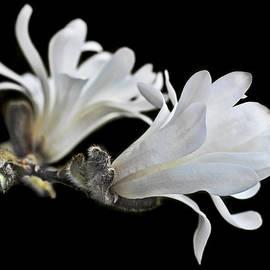 Jennie Marie Schell - Evening Light White Star Magnolia Flowers