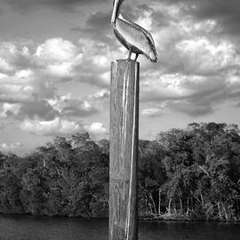 Everglades Pelican by Timothy Lowry
