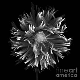 Oscar Gutierrez - Exotic dahlia isolated on black