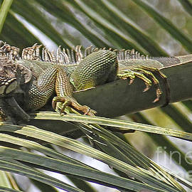 Eye of the Iguana by Bob Hislop