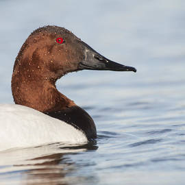 Face of A Drake Canvasback duck  by Ruth Jolly