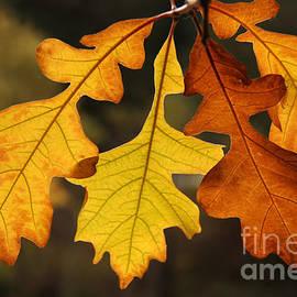 Inge Riis McDonald - Fall Oak