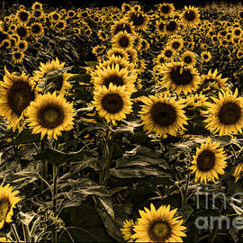 Fall Sunflower patch by Darleen Stry