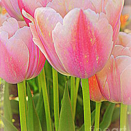 Dora Sofia Caputo Photographic Art and Design - Fantasy in Pink - Tulips