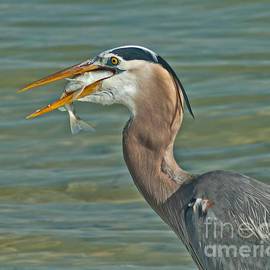 Feasting Heron by Stephen Whalen
