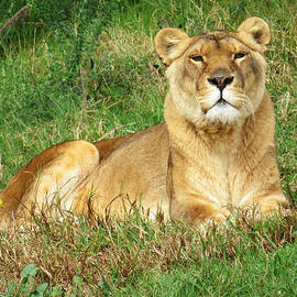 Jessica Foster - Female Lioness Lying on the Grass in the Afternoon Sun