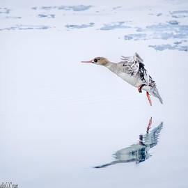 LeeAnn McLaneGoetz McLaneGoetzStudioLLCcom - Female Merganser Duck