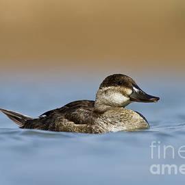 Female Ruddy duck by Bryan Keil