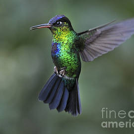 Fiery-throated Hummingbird..  by Nina Stavlund
