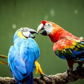 Jijo George - Fighting Parrot