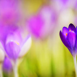 First Sign of Spring - The Crocus by Vicki Jauron