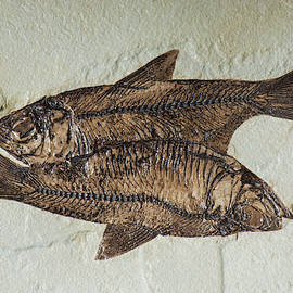 Fishes Fossil by Millard H Sharp