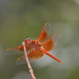 Flame Skimmer by Ruth Jolly