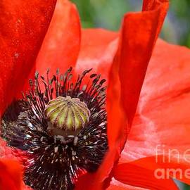 Flaming Red Poppy by Mary Deal