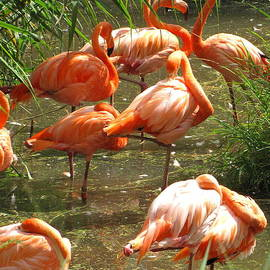 Francois Fournier - Flamingo