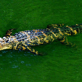 Cynthia Guinn - Floating Alligator