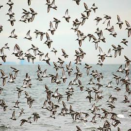 Flock of Dunlin by Karol Livote