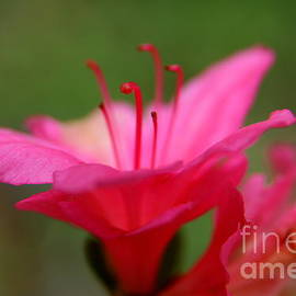 Floral Rosa by Neal Eslinger