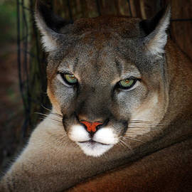 Florida Panther by Anthony Jones