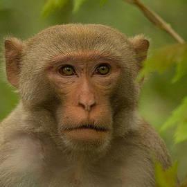 American Feral Monkey by Doug McPherson