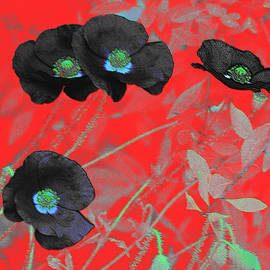 Douglas MooreZart - Flower Garden -  Four Black Poppies on Red