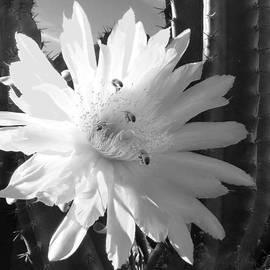 Mariusz Kula - Flowering Cactus 5 BW