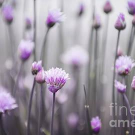 Flowering chives III by Elena Elisseeva