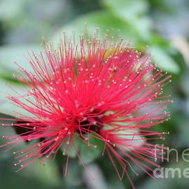 Sergey Lukashin - Fluffy pink flower