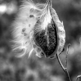 Fly away milkweed by Linda Covino