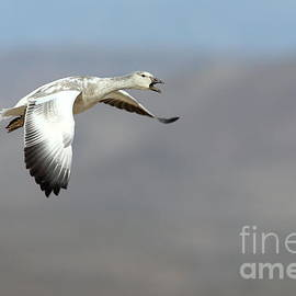 Flying by Goose  by Bryan Keil