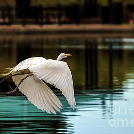 Robert Bales - Flying Egret