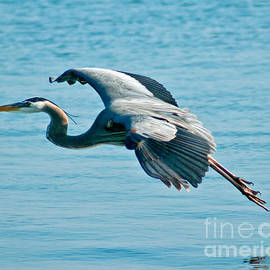 Flying Heron by Stephen Whalen