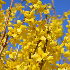 Forsythia on blue by Meandering Photography