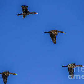 Four Flying Cormorants by Barbara Bowen