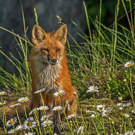 Steve Dunsford - Fox and the Daisies