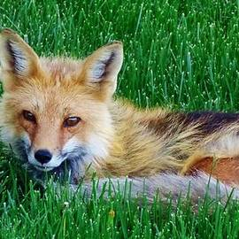 Savanna Paine - Fox