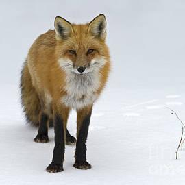 Foxy.. by Nina Stavlund
