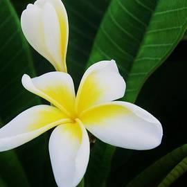 Frangipanni Flowers In Bermuda by Marcus Dagan