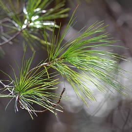 Mary Zeman - Fresh Pine