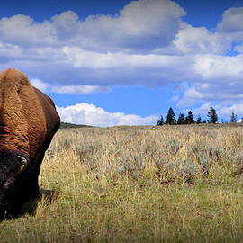 Lisa Holland-Gillem - Frontview of American Bison